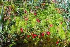 I mirtilli rossi maturi si sviluppano da sotto il muschio e l'acqua della palude Fotografie Stock Libere da Diritti