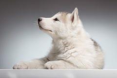 I modi del lato del cucciolo del husky, dicono chiuso Immagini Stock Libere da Diritti