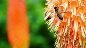 I mollis dell'alchimilla - mensola del camino delle signore - foglie a forma di ventaglio piantano il afte stock footage