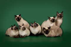 I molti stessi gatti stanno posando su un fondo verde dello studio Immagine Stock Libera da Diritti