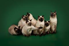 I molti stessi gatti stanno posando su un fondo verde dello studio Immagine Stock