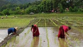 I monaci coltivano il riso con gli agricoltori Immagine Stock Libera da Diritti