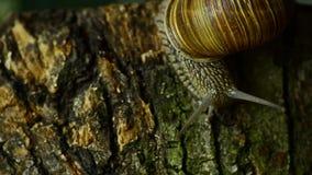 I movimenti striscianti della lumaca lungo il muschio della foresta Lumaca nella foresta 8 video d archivio