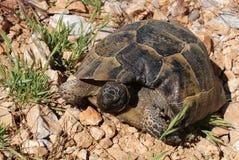 I movimenti striscianti della tartaruga dell'anfibio sulla terra Lle coperture durevoli proteggono il corpo Immagini Stock Libere da Diritti