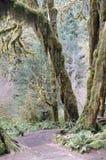 I muschi hanno coperto l'albero in foresta pluviale temperata immagini stock libere da diritti