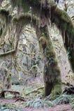 I muschi hanno coperto l'albero in foresta pluviale temperata fotografie stock