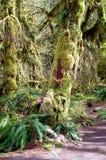 I muschi hanno coperto l'albero in foresta pluviale temperata fotografia stock libera da diritti