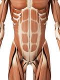 I muscoli addominali illustrazione vettoriale