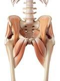 I muscoli dell'anca illustrazione vettoriale