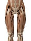 I muscoli della gamba royalty illustrazione gratis