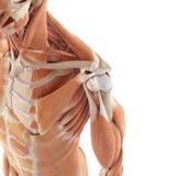 I muscoli della spalla illustrazione vettoriale
