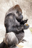 I Must Do My Nails. Silver backed gorilla particularly concerned with his finger nails stock photography