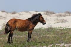 I mustang spagnoli selvaggi di Shackleford conta la Nord Carolina fotografia stock