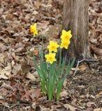I narcisi della primavera si svegliano Immagini Stock Libere da Diritti
