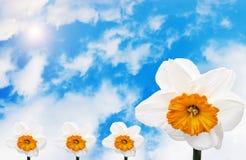 I narcisi fioriscono contro un cielo blu Fotografie Stock Libere da Diritti