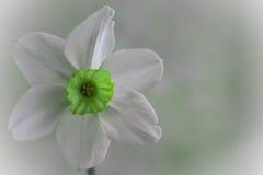 I narcisi fioriscono fondo viola del fiore ed il bello di goccia Fotografia Stock Libera da Diritti