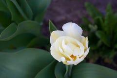 I narcisi gialli bianchi uno fioriscono su un fondo verde fotografie stock