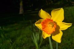 I narcisi gialli del narciso fioriscono il fiore nel parco Immagini Stock