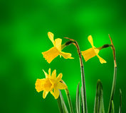 I narcisi gialli fioriscono, si chiudono su, fondo verde di degradee Sappia come narciso, daffadowndilly, narciso e giunchiglia Immagini Stock