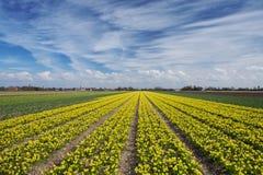 I narcisi sistemano in Olanda un giorno di molla soleggiato Fotografie Stock