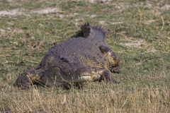 I need a hug. A huge old Nile Crocodile sunning on the Choebe river in South Africa Stock Images