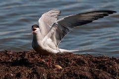 I nidi della sterna hanno Fotografie Stock