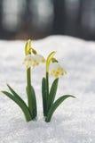 I nivalis di Galanthus, bucaneve fiorisce con bello bokeh Fotografie Stock