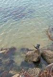I novaehollandiae australiani maschii di un Anhinga del darter che lo asciugano è ali immagini stock libere da diritti