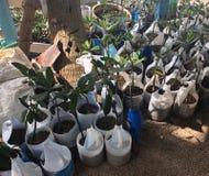 I nuovi alberi della mangrovia del bambino si chiudono su fotografie stock libere da diritti