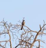 Iść oddalony ptak w Kruger parku Południowa Afryka Fotografia Stock