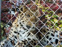 I orientalis di pardus della panthera del leopardo dell'Amur o il Der Amurleopard, Abenteurland Walter Zoo fotografia stock libera da diritti
