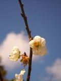 I osaceae Fotografie Stock Libere da Diritti