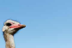 I am The Ostrich. Struthio camelus - The ostrich or common ostrich is either one or two species of large flightless birds native to Africa Royalty Free Stock Image