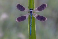 I ottan torkar Calopteryx splendens dess vingar från dagg under de första strålarna av solen arkivfoton