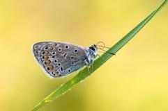 I ottan torkar den blåa fjärilen Polyommatus icarus på en glänta dess vingar från dagg royaltyfria bilder