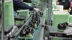 I pacchetti con le melanzane si muovono lungo il nastro magnetico nel negozio dell'imballaggio dell'azienda agricola archivi video