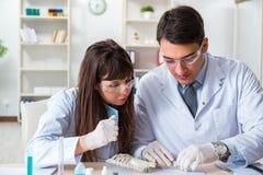 I paleontologi che esaminano le ossa degli animali estinti immagini stock