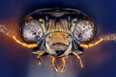 I palustris di Notiophilus si dirigono preso con l'obiettivo del microscopio impilato da molti colpi fotografia stock