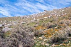 I papaveri dorati della California si avvicinano al lago Isabella fotografia stock libera da diritti