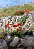 I papaveri rossi si sviluppano su una pietra Fotografie Stock