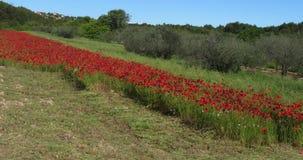 I papaveri sistemano, rhoeas del papavero, in fioritura, di olivo, vicino a Sibenik in Croazia, movimento lento archivi video
