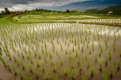 i papongpians a terrazze del giacimento del riso maechaen il chiangmai Tailandia Immagine Stock