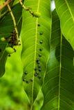 I parassiti stanno mangiando le foglie del mango fotografia stock