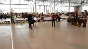 I partecipanti all'anello sull'esposizione canina nazionale Yuri Nikulin commemorativo nell'Expo di Sokolniki concentrano archivi video