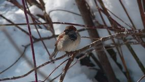 I passeri della citt? mangiano in una depressione di alimentazione su un primo piano dell'albero in primavera stock footage