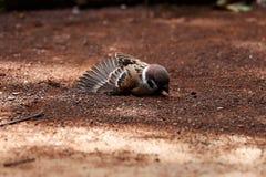 I passeri di Brown rotolano sulla terra fotografia stock libera da diritti