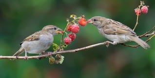 I passeri mangia le bacche di una canna del lampone con godono di immagini stock