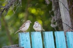 I passeri si siedono su un recinto di legno verde, sfondo naturale immagine stock