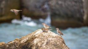 I passeri si sono appollaiati su una roccia, contro il mare blu Fotografia Stock