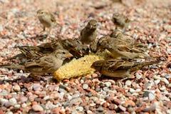 I passeri sulla spiaggia mangiano il resti di cereale fotografie stock